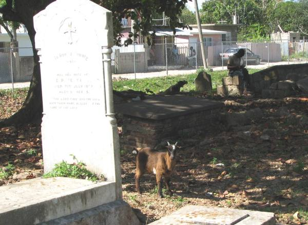 Goat in cemetary