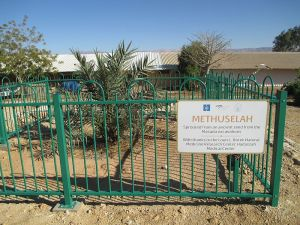 Methusaleh Date Palm