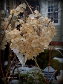 flowers with Ice-Janet Webb (2)