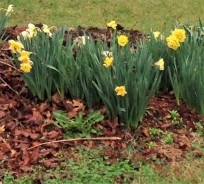 daffodils in the yard