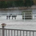Alpacas on the Mosby ranch.