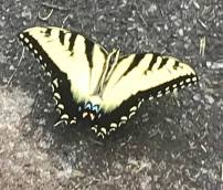 Butterfly in Airlie Gardens